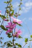 Bei fiori rosa della malvarosa nel giardino Fotografie Stock Libere da Diritti