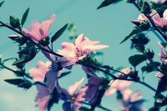 Bei fiori rosa della malvarosa nel giardino Fotografia Stock