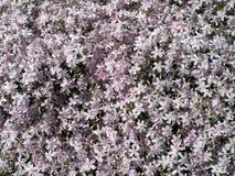 Bei fiori rosa in giardino, Lituania Immagine Stock