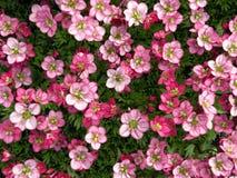 Bei fiori rosa in giardino, Lituania Fotografia Stock Libera da Diritti