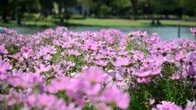 Bei fiori rosa in giardino video d archivio
