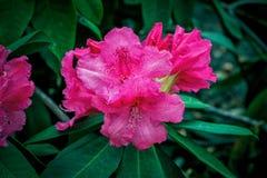 Bei fiori rosa luminosi del rododendro immagine stock libera da diritti