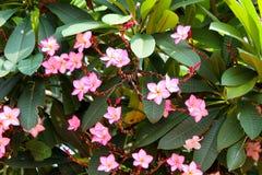 Bei fiori rosa nel giardino Fotografia Stock
