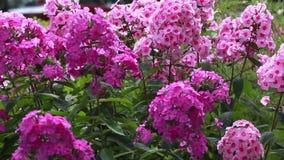 Bei fiori rosa nell'aiola stock footage