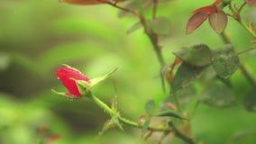 Bei fiori rosa-rosso con le gocce di acqua nel giardino Rosa nella pioggia, fine su, scena dinamica, video tonificato archivi video