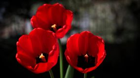 Bei fiori rossi stock footage