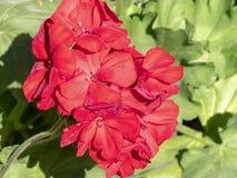 Bei fiori rossi di autunno fotografia stock