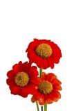 Bei fiori rossi di ZINNIA Immagine Stock
