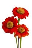 Bei fiori rossi di ZINNIA Immagini Stock Libere da Diritti