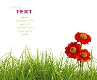 Bei fiori rossi di zinnia e isolat fresco dell'erba verde della molla Fotografia Stock Libera da Diritti