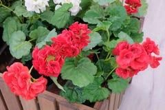 Bei fiori rossi e bianchi artificiali dell'ortensia Immagini Stock Libere da Diritti