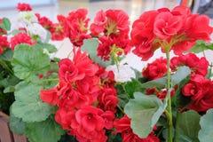 Bei fiori rossi e bianchi artificiali dell'ortensia Fotografia Stock Libera da Diritti