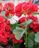 Bei fiori rossi e bianchi artificiali dell'ortensia Immagini Stock