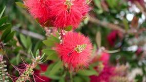 Bei fiori rossi esotici alla luce naturale archivi video