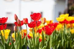 Bei fiori rossi gialli variopinti dei tulipani Fotografia Stock Libera da Diritti