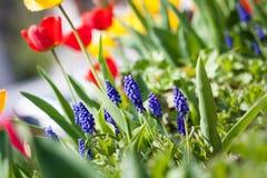 Bei fiori rossi gialli variopinti dei tulipani Fotografie Stock