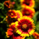 Bei fiori rossi nel giardino Fotografia Stock