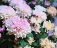 Bei fiori sboccianti bianchi e di rosa del crisantemo come immagine del fondo Crisantemo in contesto naturale della fioritura, immagine stock libera da diritti