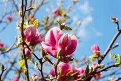 Bei fiori sboccianti della magnolia Fotografie Stock