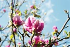 Bei fiori sboccianti della magnolia Fotografia Stock