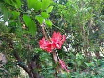 bei fiori in Sri Lanka Fotografia Stock Libera da Diritti
