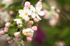Bei fiori su di melo Fotografie Stock Libere da Diritti