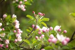 Bei fiori su di melo in natura Fotografie Stock Libere da Diritti