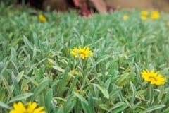 Bei fiori sui cespugli angiosperme insolitamente belle tagete giallo del giacimento di fiori fotografie stock