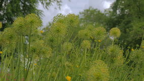 Bei fiori unblown dell'allium stock footage