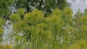 Bei fiori unblown dell'allium archivi video