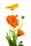 Bei fiori variopinti Immagini Stock Libere da Diritti