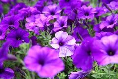 Bei fiori viola Fotografia Stock Libera da Diritti