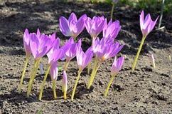 Bei fiori viola nel giardino fotografia stock