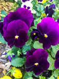 Bei fiori viola nel giardino immagine stock