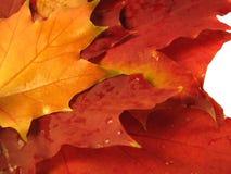 Bei fogli colorati di caduta con le gocce dell'acqua Fotografia Stock