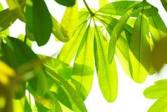 Bei fogli di verde Fotografia Stock