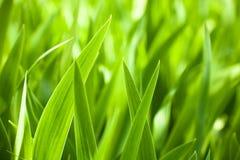 Bei fogli verdi dell'iride Fotografie Stock Libere da Diritti