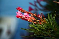 Bei germogli del fiore dell'oleandro Fotografie Stock