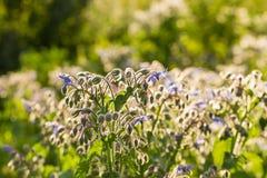 Bei germogli e fiori dello starflower nel sole di sera Immagine Stock Libera da Diritti