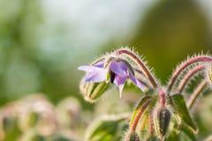 Bei germogli e fiori dello starflower nel sole di sera Fotografia Stock