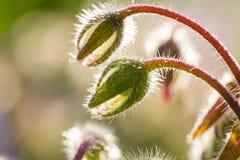 Bei germogli e fiori dello starflower nel sole di sera Immagine Stock