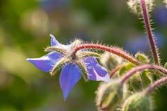 Bei germogli e fiori dello starflower nel sole di sera Fotografie Stock