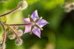 Bei germogli e fiori dello starflower nel sole di sera Immagini Stock