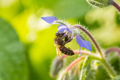 Bei germogli e fiori dello starflower nel sole di sera Immagini Stock Libere da Diritti