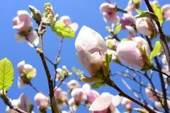 Bei germogli luminosi della magnolia Immagini Stock