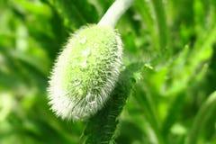 Bei germogli verdi del papavero con il fuoco selettivo sul fondo vago della molla fotografia stock