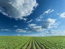Bei giacimenti della soia al giorno soleggiato idilliaco Fotografia Stock Libera da Diritti