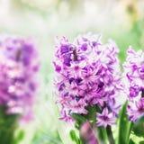 Bei giacinti rosa in giardino o in parco, fine su Primavera floreale all'aperto Immagine Stock