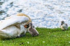 Bei giovani cigni del bambino con la loro madre fotografia stock
