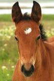 bei giovani del ritratto del cavallo degli occhi Fotografie Stock